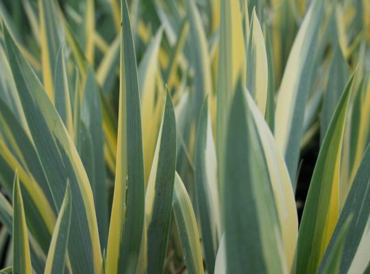 iris pallida aurea variegata